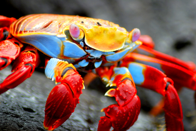 Sally lightfoot crab, Puerto Ayora, Santa Cruz Island, The Galapagos Islands