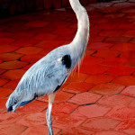 Great blue heron, fish market, Puerto Ayora, Santa Cruz Island, Galapagos Islands, Ecuador