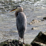 Great blue heron, Puerto Ayora, Santa Cruz Island, Galapagos Islands