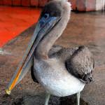 Brown pelican, fish market, Puerto Ayora, Santa Cruz Island, Galapagos Islands, Ecuador
