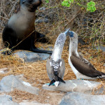 Blue-footed booby vs. sea lion, Española island, Galapagos Islands, Ecuador