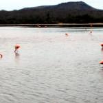 Greater Galapagos flamingos, Floreana Island, Galapagos Islands, Ecuador
