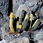 Lava cactus, Isabela Island, Galapagos Islands, Ecuador