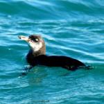 Galapagos penguin, Isabela Island, Galapagos Islands, Ecuador