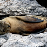 Sea lion dozing on the rocks, South Plaza Island, Galapagos Islands, Ecuador
