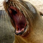 Feisty sea lion, Floreana Island, Galapagos Islands, Ecuador