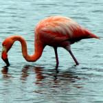 Greater Galapagos flamingo, Floreana Island, Galapagos Islands, Ecuador
