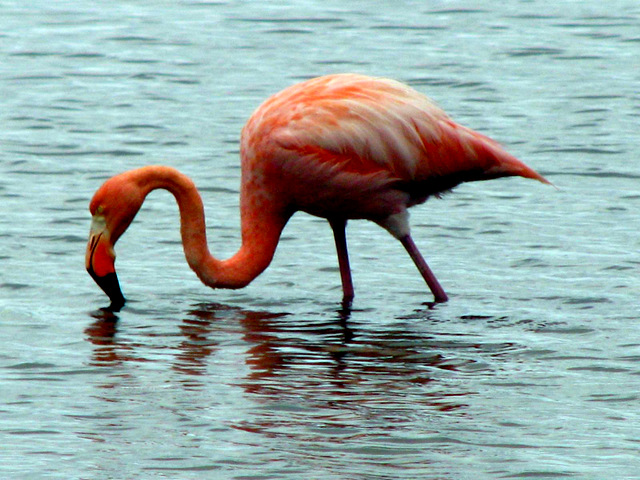 Greater Galapagos flamingo, Floreana Island, Galapagos Islands, Ecuador