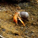 Hermit crab out for a morning stroll, Floreana Island, Galapagos Islands, Ecuador