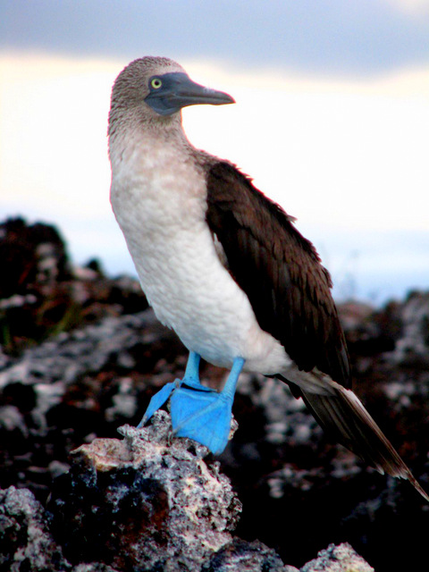 Blue-footed booby perches precariously on volcanic rock, Isabella Island, Galapagos Islands, Ecuador