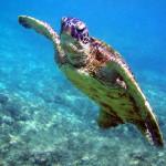Underwater pacific green Sea Turtle, Galápagos Islands, Ecuador