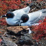 Swallow-tailed gulls, South Plaza Island, Galápagos Islands, Ecuador
