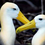 Wave albatrosses, Española Island, Galápagos Islands, Ecuador