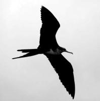 Frigate bird, Puerto Ayora, Santa Cruz Island, Galapagos Islands