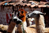You can never have enough llamas, Cusco, Peru