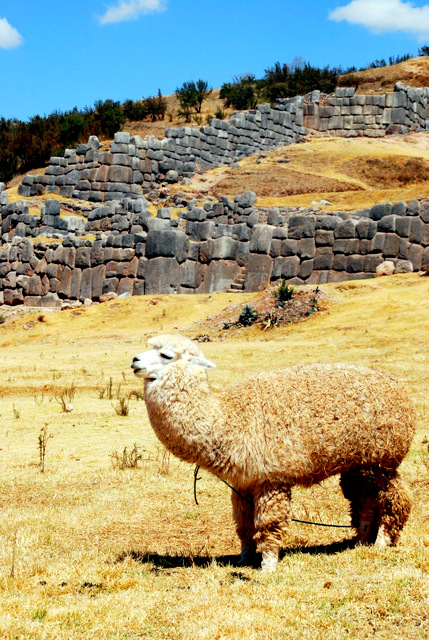 Sexy alpaca (maybe) at The Inca site of Saqsaywaman, Cusco, Peru