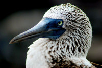 Blue-footed booby portrait, Black turtle cove, Santa Cruz Island, Galapagos Islands, Ecuador