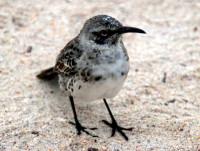Galapagos mocking bird, Floreana Island, Galapagos Islands, Ecuador