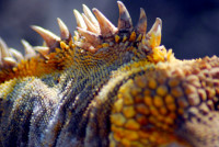 Spines of the iguana (land), Isabela Island, Galapagos Island, Ecuador