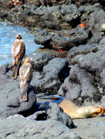 Two Galapagos hawks keep a wary eye on a nearby sea lion, Fernandina Island, Galápagos Islands, Ecuador