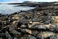 A lounge of marine iguanas, Santiago Island, Galapagos Islands, Ecuador