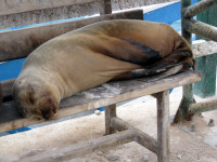 Sea lion resting on the docks, Santa Cruz Island, Galapagos Islands, Ecuador