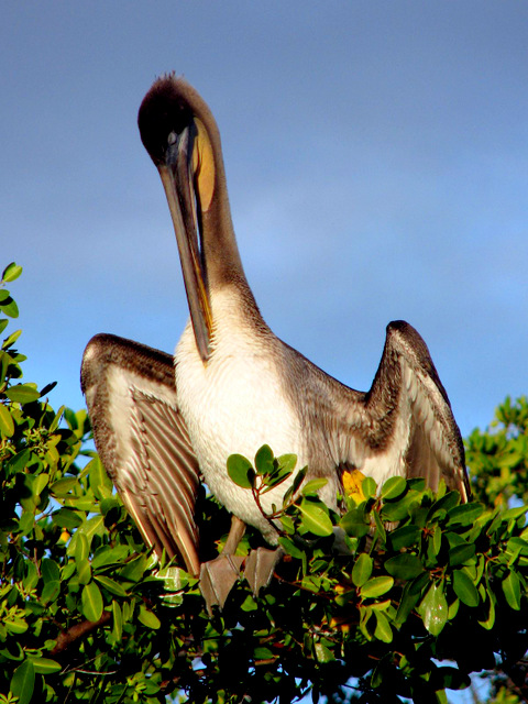 Brown Pelican, Black turtle cove, Santa Cruz Island, Galapagos Islands, Ecuador