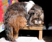 Definitely not a hairless dog, Cusco, Peru