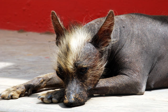 Hairless dog, Trujillo, Peru