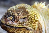 Land iguana, Isabela Island, Galápagos Islands, Ecuador