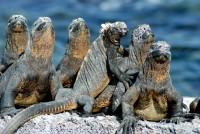 Marine iguanas sunbathing, Fernadina Island, Galápagos Islands, Ecuador