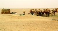 Nomadic camel encampment, Mauritania, Africa