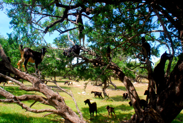 Tree Climbing Goats Morocco Day 245 Roderick Phillips