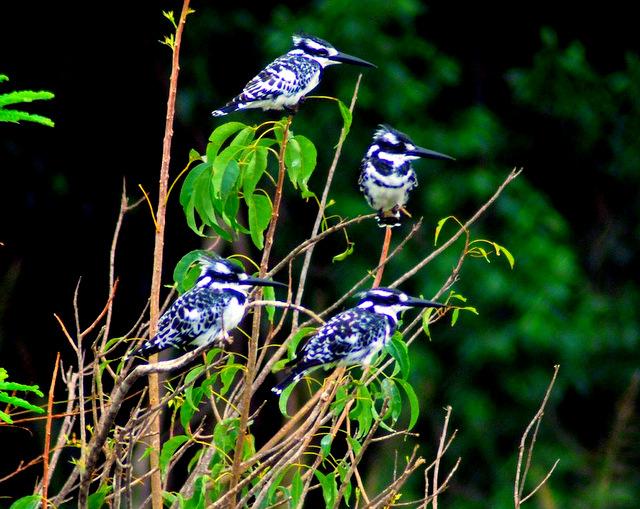 Pied Kingfishers, Murchison Falls National Park, Uganda, Africa