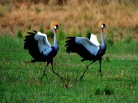 Crested Crane mating ceremony, Murchison Falls National Park, Uganda, Africa