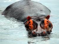 Hippopotamus, Murchison Falls National Park, Uganda, Africa