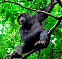 Chimpanzee, Murchison Falls National Park, Uganda, Africa