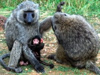 More baboon cleaning, Murchison Falls National Park, Uganda, Africa