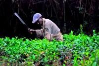 Machete-wielding tea-plant pruner, Fort Portal, Uganda, Africa