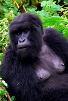 Adult female Mountain Gorilla, Susa Group, Volcanoes National Park, Rwanda, Africa