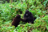 Taking baby steps, mountain gorillas, Susa Group, Volcanoes National Park, Rwanda, Africa
