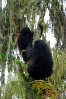 Byishimo & Impano, mountain gorilla twins, Susa Group, Volcanoes National Park, Rwanda, Africa