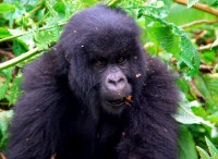 Curious teenager, Susa Group of Mountain Gorillas, Volcanoes National Park, Rwanda, Africa