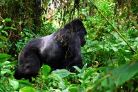 Kurira, one of the mountain gorillas (silverback in the Susa Group) in Volcanoes National Park, Rwanda, Africa