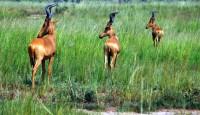 Hartebeest (antelope), Murchison Falls National Park, Uganda, Africa