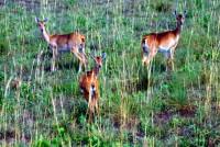 Oribi (antelope), Murchison Falls National Park, Uganda, Africa