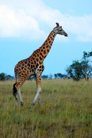 Graceful Rothschild giraffe, Murchison Falls National Park, Uganda, Africa