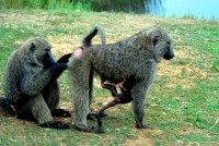 Cleaning the baboon way, Murchison Falls National Park, Uganda, Africa