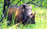 Nandi, the female White Rhino, Ziwa Rhino Sanctuary, Uganda, Africa