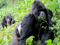 Guhonda, dominant silverback Mountain Gorilla, Sabyinyo Group, Volcanoes National Park, Rwanda, Africa